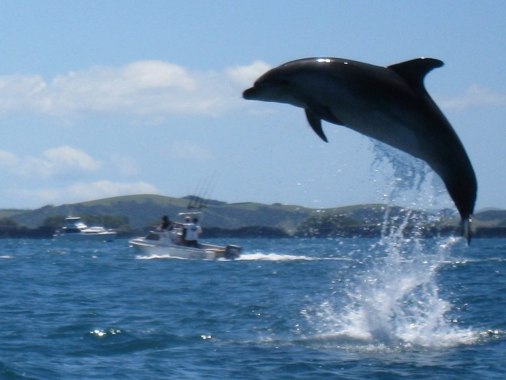 Dolphin Jumping Bay of Islands